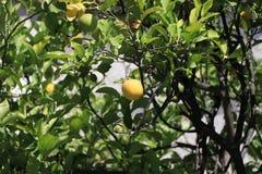 西西里岛,黄色柠檬 免版税图库摄影