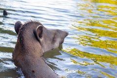 巴西貘游泳 库存照片