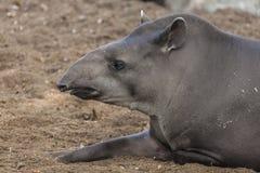 巴西貘的画象 免版税库存照片