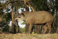 巴西貘,貘类动物terrestris, 免版税图库摄影
