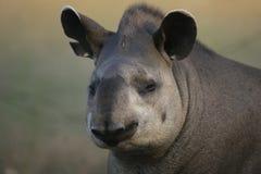 巴西貘,貘类动物terrestris, 免版税库存照片