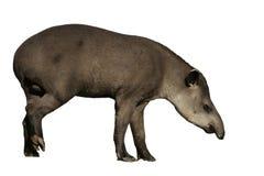 巴西貘,貘类动物terrestris, 库存图片