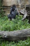 西部凹地大猩猩在动物园里 库存照片