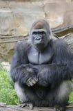 西部凹地大猩猩在动物园里 免版税库存图片