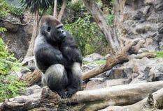 西部凹地大猩猩在Loro parque,特内里费岛坐 免版税库存图片