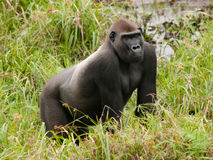 西部凹地大猩猩在Mbeli bai,刚果共和国 库存照片