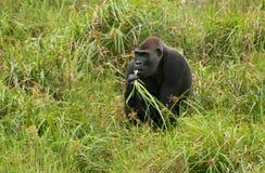 西部凹地大猩猩在Mbeli bai,刚果共和国 免版税库存照片