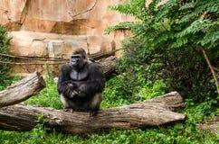 西部凹地大猩猩坐日志 免版税库存图片