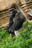 西部凹地大猩猩放松的坐 库存图片