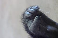 西部凹地大猩猩的脚 库存图片