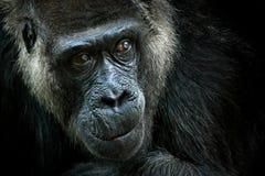 西部凹地大猩猩,与美丽的眼睛的细节顶头画象 野生大黑猴子在森林里,加蓬, A特写镜头照片  库存照片