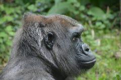 西部凹地大猩猩, 免版税库存图片