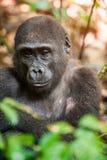 西部凹地大猩猩(大猩猩大猩猩大猩猩)关闭的画象在短的远处在一个当地栖所 图库摄影