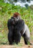 西部凹地大猩猩(大猩猩大猩猩大猩猩)关闭的画象在短的远处 库存照片