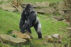 西部凹地大猩猩-大猩猩大猩猩大猩猩 库存图片