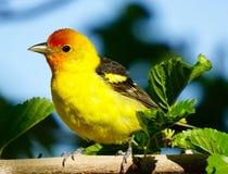 西部唐纳雀鸟的逗人喜爱的画象 免版税库存照片