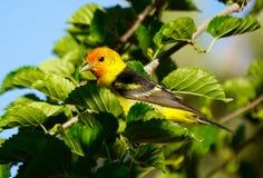 西部唐纳雀鸟的逗人喜爱的画象 图库摄影