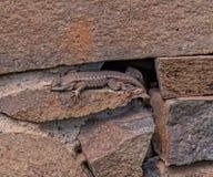 西部在老宅基议院的岩石的篱芭蜥蜴 免版税库存图片