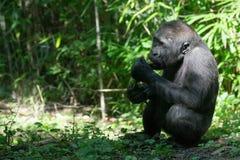 西部大猩猩的低地 库存图片