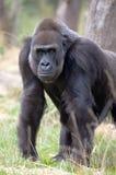西部大猩猩的低地 库存照片
