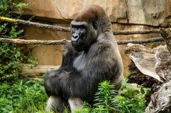 西部大猩猩的低地 免版税库存照片