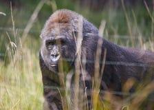 西部大猩猩的低地 免版税图库摄影
