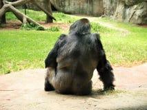 西部大猩猩的低地 图库摄影