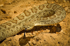 西部大草原响尾蛇响尾蛇viridis 库存照片