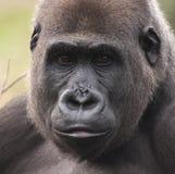 西部女性大猩猩的低地 免版税库存照片