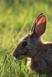 西部得克萨斯棉尾巴兔子 免版税库存照片