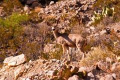 西部得克萨斯骡子鹿1 免版税图库摄影