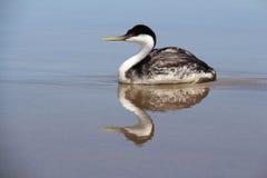 西部格里布海鸟 免版税库存照片