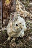 西部棉尾兔 库存照片