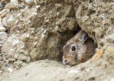 西部棉尾兔 库存图片