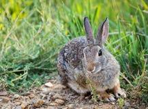 西部棉尾巴兔子 库存图片
