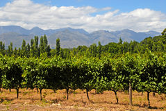 西部海角的(南非)葡萄园 免版税库存照片