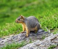 西部灰色Squirrel湖Coeur d ` Alene爱达荷 库存图片
