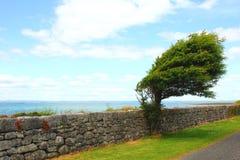 西部爱尔兰风形状的树 免版税库存照片