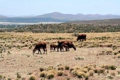 西部牛的范围 免版税库存图片