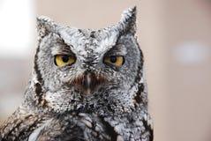 西部猫头鹰的尖叫声 库存图片