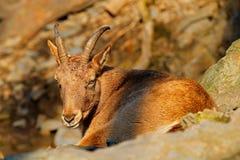 西部白种人tur,山羊属caucasica,坐岩石,在自然栖所危及了动物,高加索山脉,范围descr 库存图片