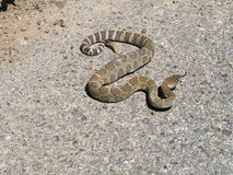 西部的响尾蛇 免版税库存照片