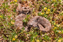 西部的猪鼻蛇 免版税图库摄影