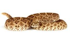 西部的菱纹背响尾蛇 免版税图库摄影