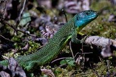 西部的绿蜥蜴 库存照片