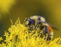 西部红被盯梢的土蜂熊蜂lapidarius 免版税库存照片