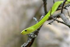 西部绿眼镜蛇Dendroaspis viridis 免版税库存图片