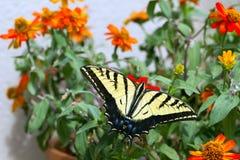 西部老虎Swallowtail, Pterourus rutulus 免版税库存图片