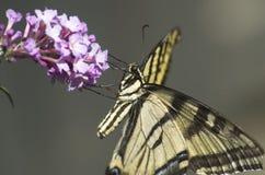 西部老虎Swallowtail蝴蝶 免版税库存照片
