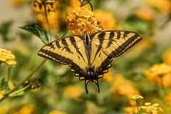 西部老虎Swallowtail蝴蝶 免版税图库摄影